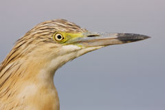 A Squacco Heron close-up Royalty Free Stock Image