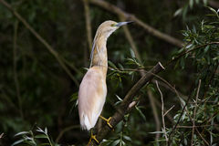 The Squacco Heron Royalty Free Stock Images