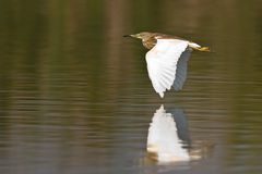 Squacco heron in flight. Over shallow water in Marivale Royalty Free Stock Photos
