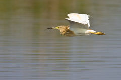 Squacco heron in flight. Over shallow water in Marivale Stock Photography
