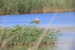 The Squacco heron in flight Stock Image
