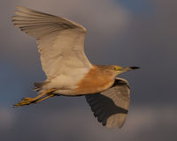 Squacco heron in flight Royalty Free Stock Images