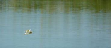 A Squacco Heron in flight over lagoon Stock Photos