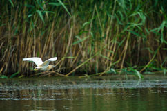 Squacco Heron flying above water Stock Photos