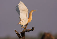A Squacco Heron flying Stock Images