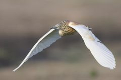 Squacco Heron flying in Southern Africa Stock Photography