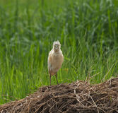 Squacco Heron full face Stock Images