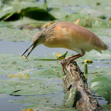 Squacco Heron Royalty Free Stock Photos
