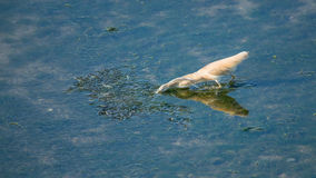 Squacco Heron Stock Photo