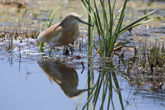 Squacco Heron hunting for food among reeds and water Royalty Free Stock Images