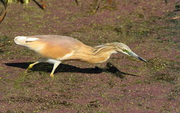 Squacco heron hunts prey in the shallows Stock Photos