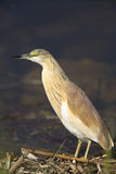 Squacco heron. An image of a close-up of a squacco heron stock image