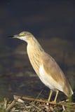 Squacco heron. An image of a close-up of a squacco heron Stock Image