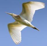 Squacco Heron Isolated On Deep Blue Sky / Ardeola Stock Photo