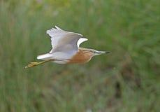 Squacco Heron. At Kalloni salt pans,Lesvos royalty free stock images
