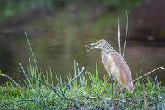 Squacco Heron in Kruger National park, South Africa Royalty Free Stock Photos