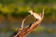 Squacco heron on a log Royalty Free Stock Image