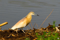Squacco Heron looking for food / Ardeola ralloides Stock Photography