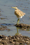 Squacco Heron looking for food / Ardeola ralloides Royalty Free Stock Photo