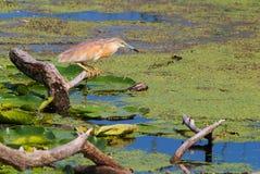 Squacco heron in a marsh Stock Photo