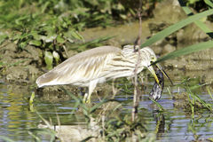 Squacco heron in natural habitat / Ardeola ralloides Royalty Free Stock Photo