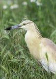 Squacco heron in natural habitat / Ardeola ralloides Stock Image