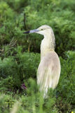 Squacco heron in natural habitat / Ardeola ralloides Stock Photo