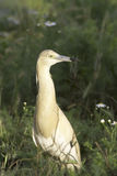 Squacco heron in natural habitat / Ardeola ralloides Stock Photography