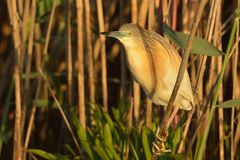 Squacco Heron near Reed Royalty Free Stock Image