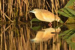 Squacco Heron near Reed Stock Photography