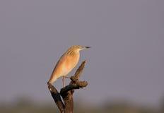 A Squacco Heron on a perch Stock Image