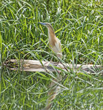 Squacco heron perched on a log in grass reeds Royalty Free Stock Images