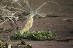 Squacco Heron. A squacco heron perched on some flotsam Royalty Free Stock Images