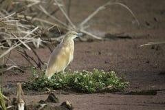Squacco Heron Royalty Free Stock Images