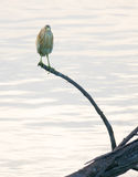 Squacco Heron perching on branch Royalty Free Stock Photos