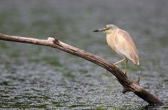Squacco Heron. The picture was taken in Hungary Royalty Free Stock Photo