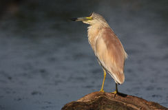 Squacco Heron. The picture was taken in Hungary Stock Photography