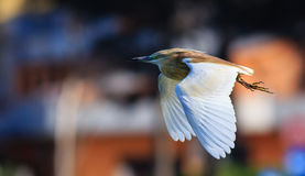 The squacco heron Stock Images