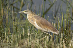 Squacco Heron In The Reeds Stock Photo