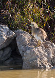 A Squacco Heron on a rock Stock Image