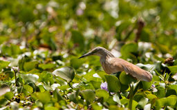 A Squacco Heron in it´s habitat Royalty Free Stock Photography