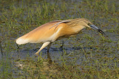 Squacco Heron with Salamander Stock Photography