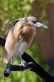 Squacco heron Royalty Free Stock Photography
