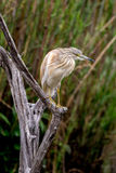 Squacco, Heron. Sitting on a branch Royalty Free Stock Images
