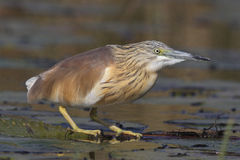Squacco Heron sitting on a water lilly Stock Image