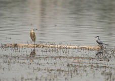 Squacco heron and spur-winged plover perched on a log in river Royalty Free Stock Image