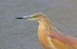Squacco Heron. At Kalloni salt pans,Lesvos stock image