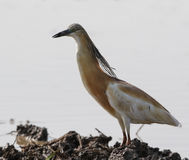 Squacco Heron standing on the mud near to the water lake Stock Photography