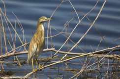 Squacco heron. A squacco heron is standing on a reed Stock Photography