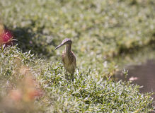 Squacco heron standing on a river bank Royalty Free Stock Images
